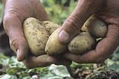 Hands holding freshly harvested potatoes