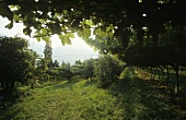 Pergola training of vines, Terlan, S. Tyrol, Italy
