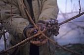 Picking ice wine grapes, Rheingau, Germany
