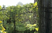 A cobweb in a vineyard