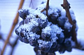 Ice wine grapes covered in ice