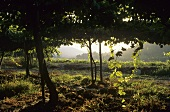 Vineyard of Santa Rita Winery, Maipo Valley, Chile