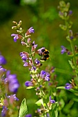 A bumblebee on flowering sage