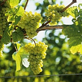 Weisser Burgunder grapes on the vine (Southern Palatinate)