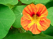 Nasturtium flower and leaves