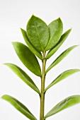 Zamiaculcas (Houseplant)