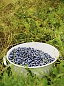 Freshly picked blueberries in a bucket