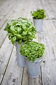 Thai basil and basil in zinc containers