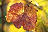 Dolcetto vine leaf with autumn colouring