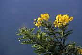 Sennesblätter (Senna; Henna neutral; Cassia auriculata L)