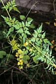 Ballonpflanze (Herzsame, Cardiospermum halicacabum), Indien