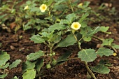 Burra Gookeroo (Indian medicinal plant, Pedalium murex)