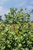 Medicinal plant: madar (Calotropis gigantea, crown flower)