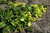 Heilpflanze: Afrikanische Juckbohne (Mucana pruriens)