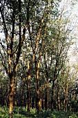 Rubber trees in Kerala, India