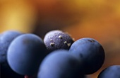 Botrytis on red wine grapes