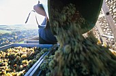 Grape-picker emptying basket of white wine grapes, Mosel