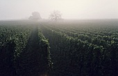 Vineyard in mist, Rheingau, Germany