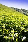 Tea plantation (Cameron Highlands, Malaysia)