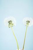 Two dandelion clocks