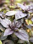 Purple basil in a garden