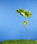 Fresh lettuce leaf falling on to grass