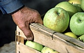 A Hand on a Crate of Golden Delicious Apples