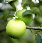 A Golden Delicious Apple on the Branch