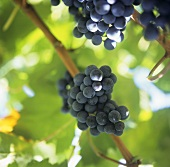 A Bunch of Purple Grapes on the Vine