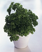 Curly Parsley in a Flower Pot