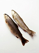 Two fresh brook trout
