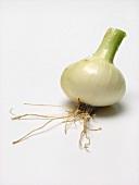 Knob Onion