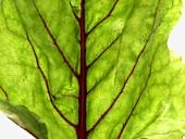 Beetroot leaf (detail)