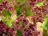 Red Leaf Lettuce (Lollo Rosso)