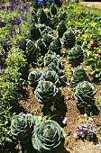 Garden of Decorative Cabbages