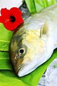 Big Island Kanpachi