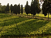 Grape vines and cypress trees in spring in Tuscany