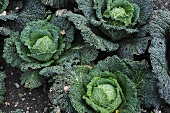 Savoy cabbage in a vegetable patch