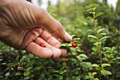 A hand picking lingonberries