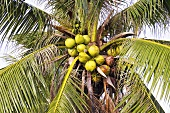 A coconut tree