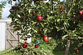 An apple tree with red apples with a summer house in the background