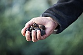 A hand holding black truffles