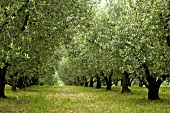 Olive trees near Triest