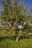 An apple tree in a field