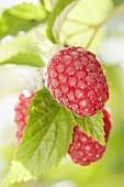 Raspberries on the bush (close-up)