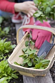 Fresh mint and garden utensils in a wooden basket