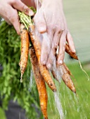Fresh carrots from the garden being washed