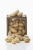 Fingerling Potatoes Spilling from a Crate; White Background