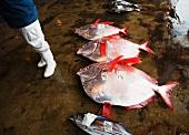 Tote Fische auf Boden in Fischmarkthalle liegend