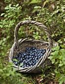 A basket of freshly picked blueberries